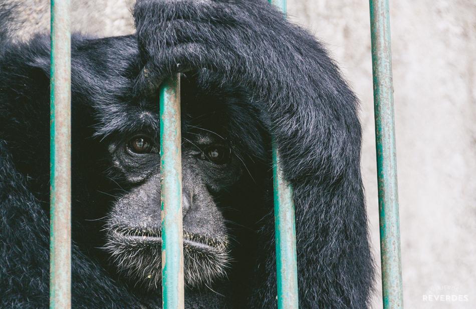 Primate en cautividad