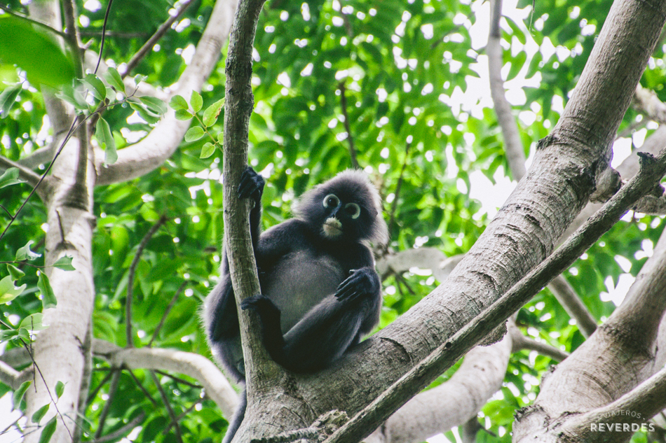 Primatelibre en la selva de Penang, Malasia