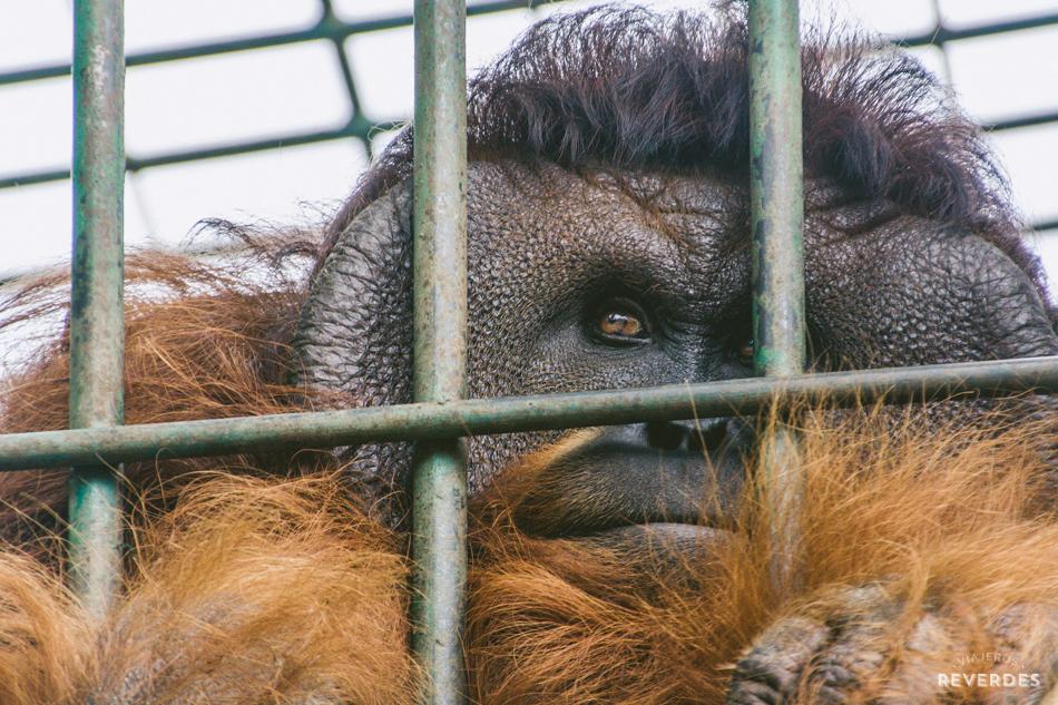 Orangután de la selva de Sumatra en cautividad